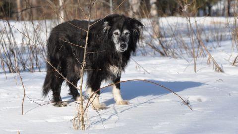 Igor på sin sista promenad, den 8 april 2013. En fin vinterdag när skaren höll.