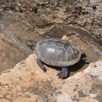 Sköldpadda på väg ner i Donau.
