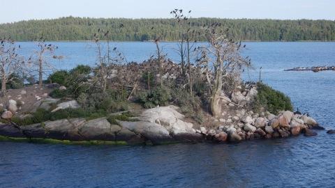 Holmen i Stockholms skärgård är öde och ful efter skarvarnas framfart.