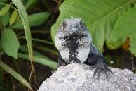 Öga mot öga med leguan på Cozumel